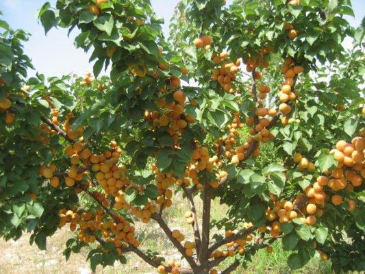 Дерево абрикоса с плодами