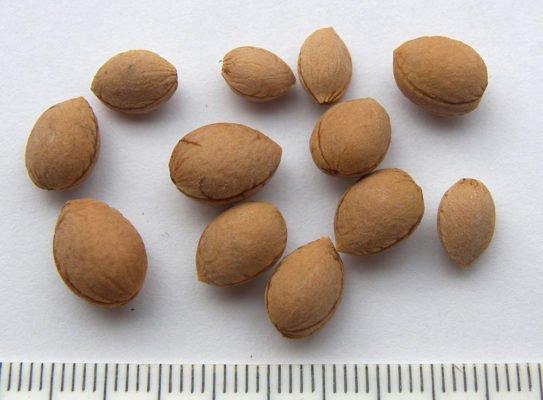 Косточки войлочной вишни