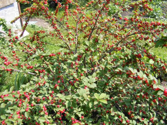 Куст войлочной вишни