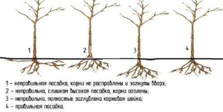 Уровень посадки саженцев
