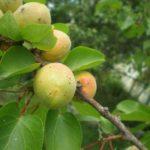 Клястероспориоз плодов