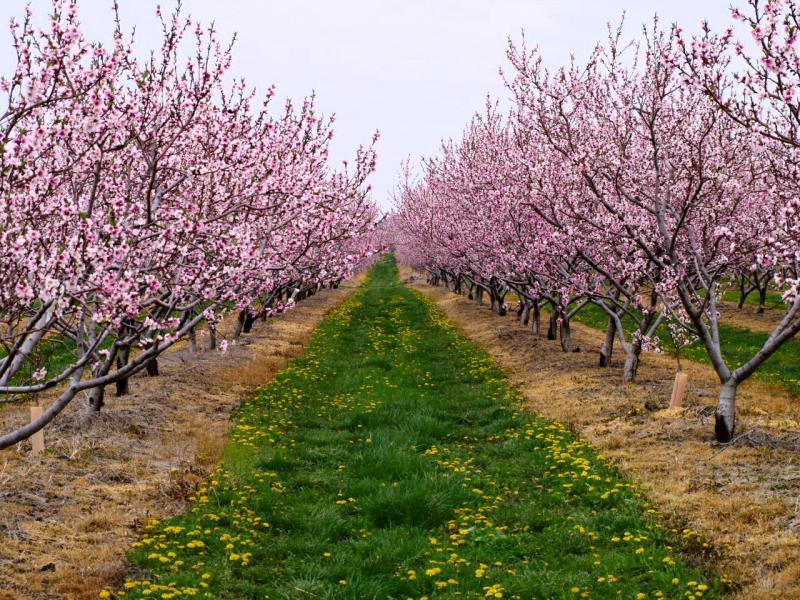 Посадка саженцев абрикоса весной - дельные советы