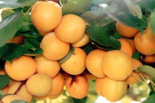 абрикос водолей