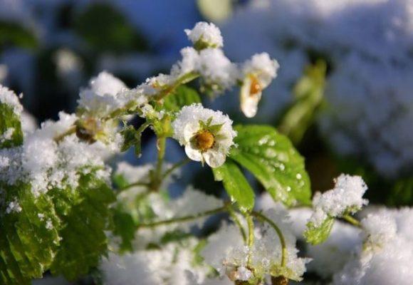 Цветение клубники в ноябре