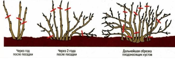 Схема обрезки смородины в разные годы