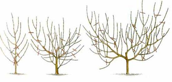 Схема обрезки абрикоса в виде чаши
