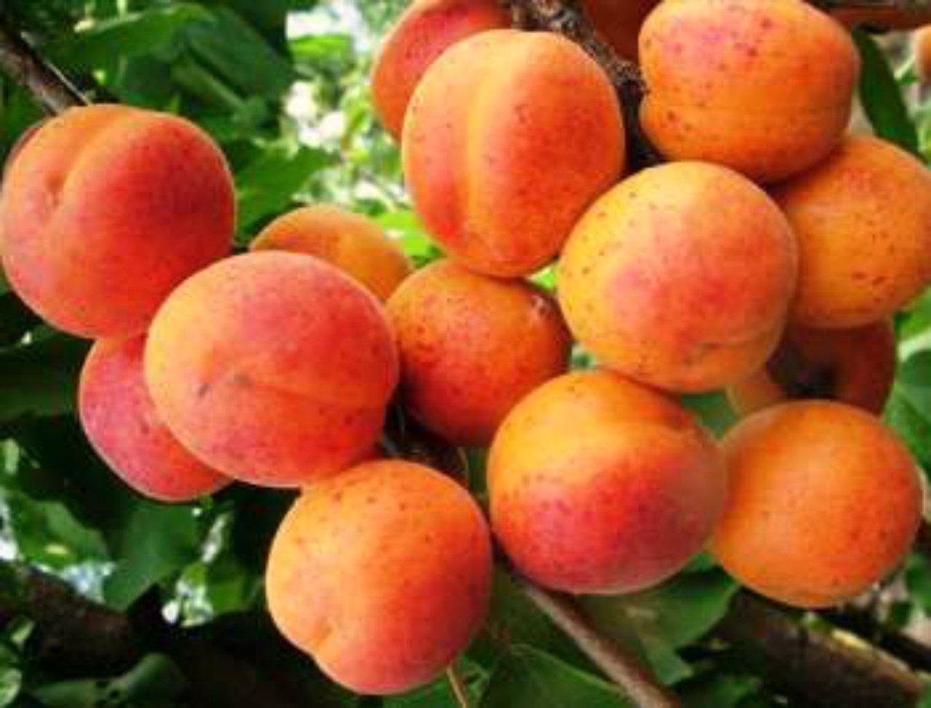 Прививка абрикоса на что можно когда и как прививать на сливу вишню алычу