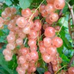Смородина сорта Розовый жемчуг