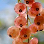 Смородина сорта Голландская розовая