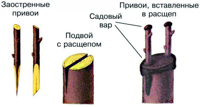 Схема прививки в расщеп
