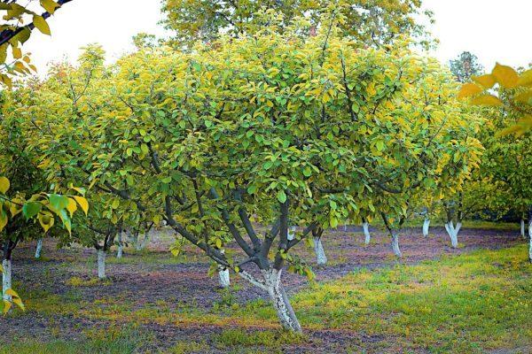 Деревья абрикоса