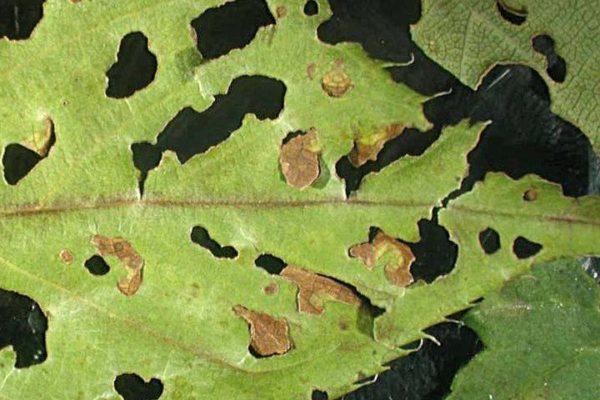 Лист абрикоса, поражённый клястероспориозом