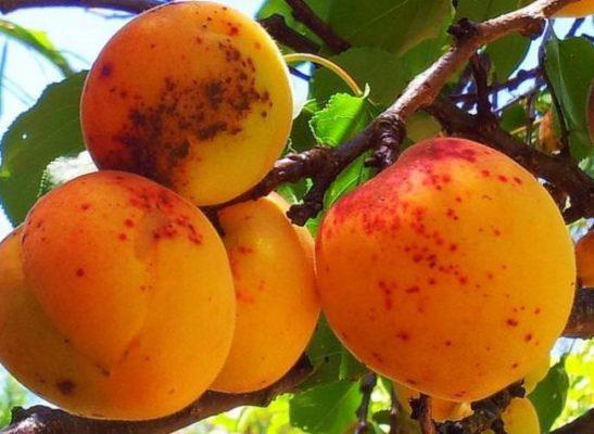 Следы поражения абрикоса паршой