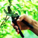 Обрезка годичных приростов обрастающих ветвей