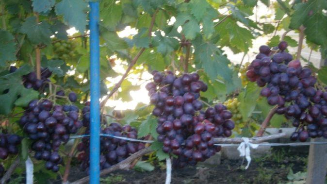Грозди винограда Заря Несветая