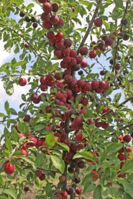 Дерево чёрного абрикоса с плодами