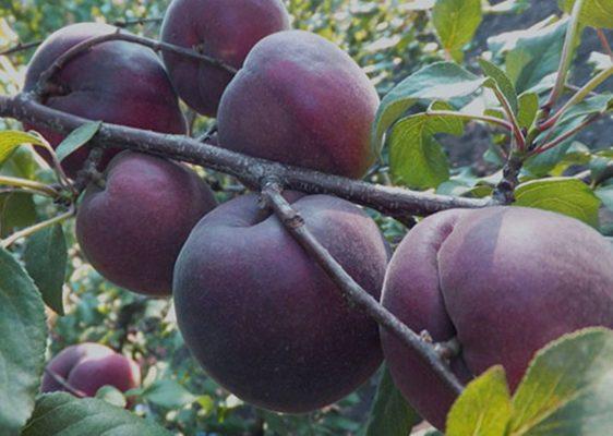 Ягоды чёрного абрикоса на ветке