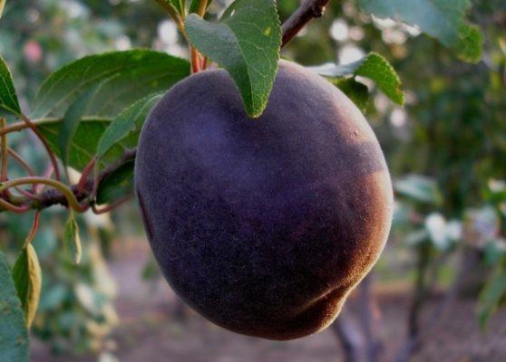 Ягода абрикоса Чёрный бархат
