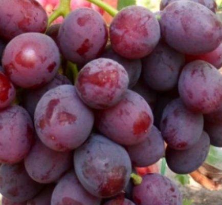 Ягоды винограда Заря Несветая