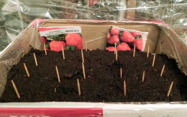 Посев клубники семенами