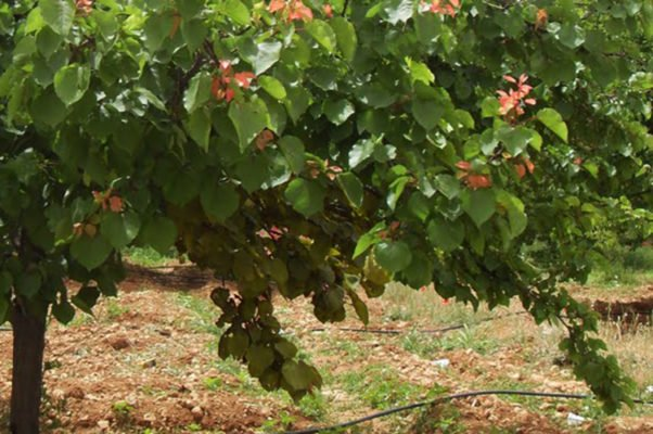 Вертициллёз абрикоса