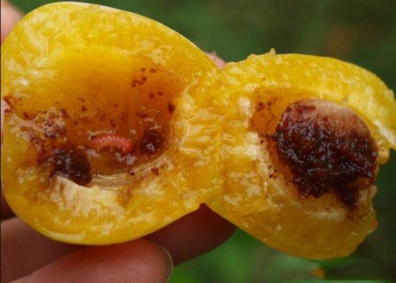 Вредитель — Плодожорка