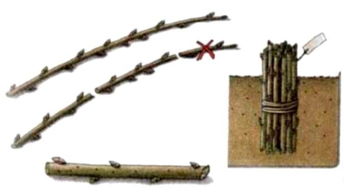 Схема заготовки одеревеневших черенков
