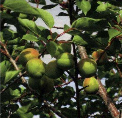 Плоды абрикоса в июне