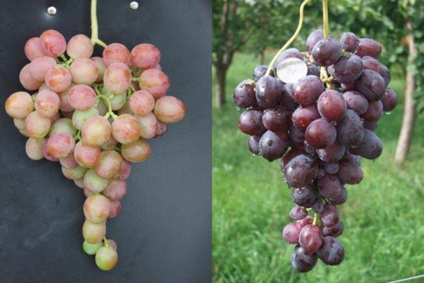 Спелые грозди Зари Несветой с разницей в 1,5 месяца