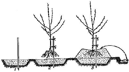 Схема посадки абрикоса на холм