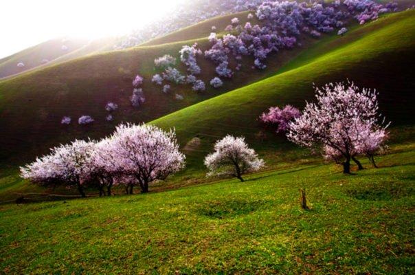 Цветущие абрикосы на склонах