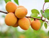 абрикос мелитопольский
