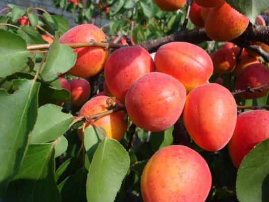 Ягоды абрикоса Лучистый