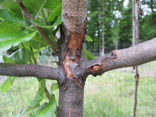 Кора дерева, поражённая цитоспорозом