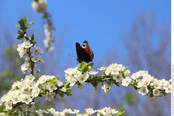 Цветущая ветка алычи