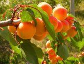 Абрикос - южный фрукт