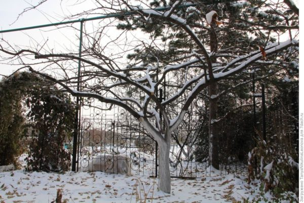 Дерево Кубанской кометы зимой
