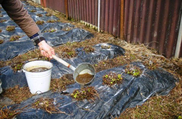 Внесение раствора коровяка под клубнику осенью