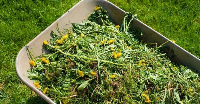 Зелёное удобрение для клубники
