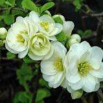 Белые махровые цветки