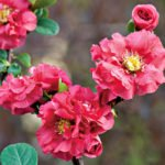 Благородные тёмно-розовые