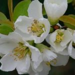 Хеномелес с белыми цветками