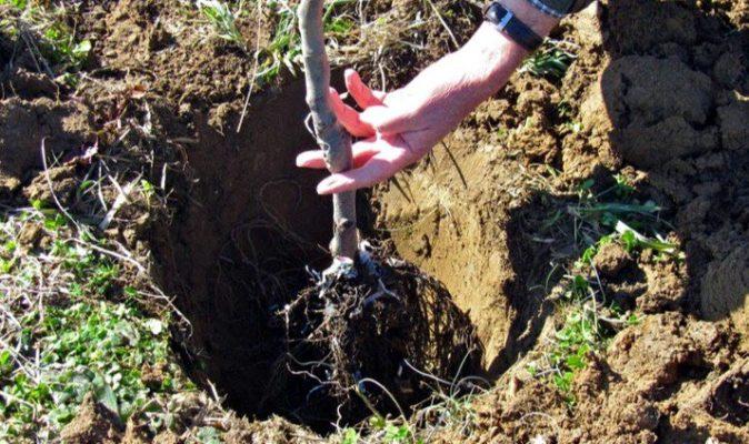 Саженец, который опускают в посадочную яму