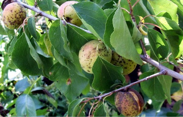 Монилиоз плодов абрикоса