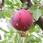 Ягода сливы, повреждённая плодожоркой