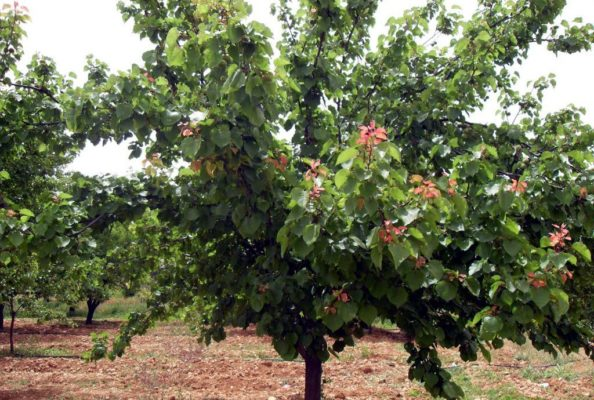Взрослый абрикос