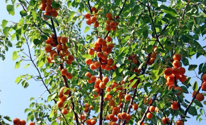 Абрикосы на дереве