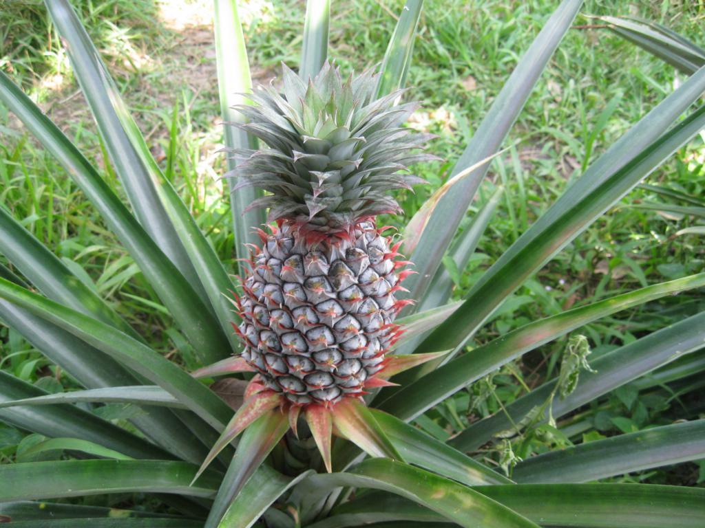 Как растут бананы и ананасы