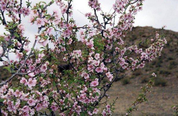Абрикос в природе