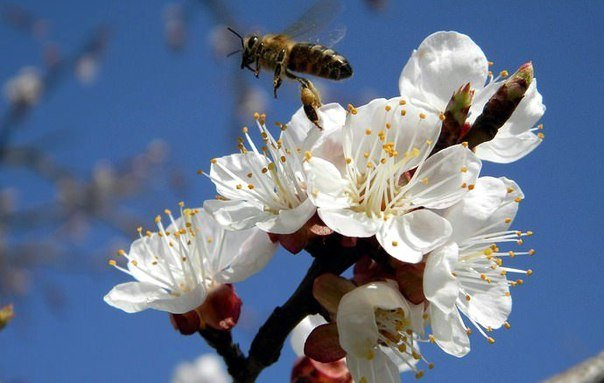 опыление пчелой